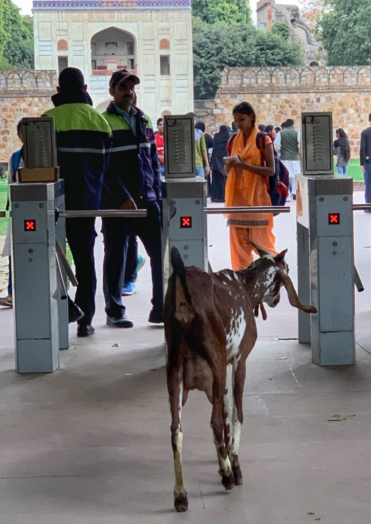 A goat trying to walk through the turnstiles at Humayun's Tomb in New Delhi, India