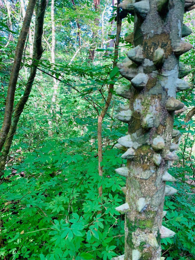 An Alligator Tree at Samara Trails at Werner Sauter Biological Reserve near Playa Samara, Costa Rica