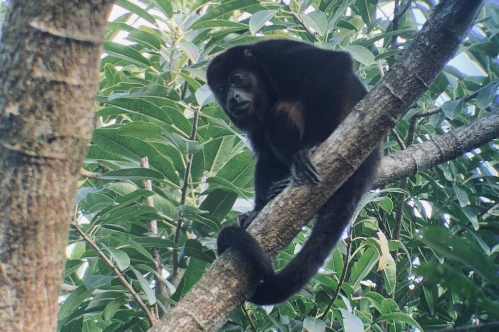 Howler Monkey in a tree at Samara Trails at Werner Sauter Biological Reserve near Playa Samara, Costa Rica