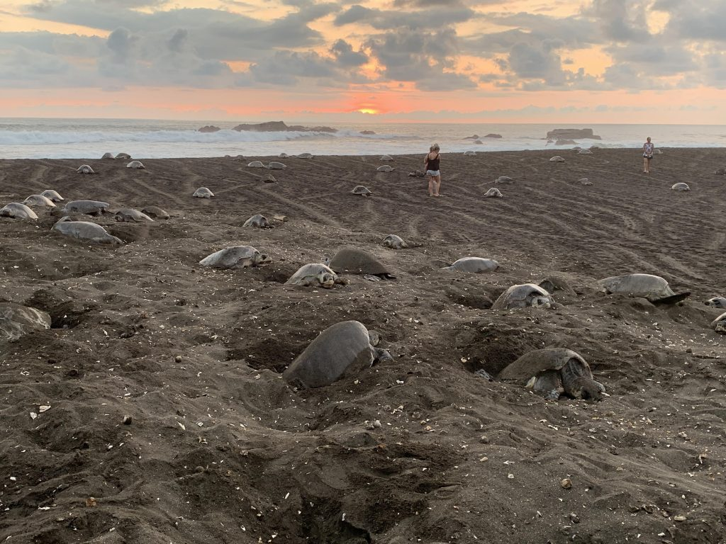 An arribada of Olive Ridley sea turtles at Ostional Wildlife Refuge in Costa Rica