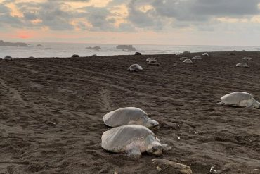 Olive ridley sea turtle arribada at Ostional Wildlife Refuge in Costa Rica