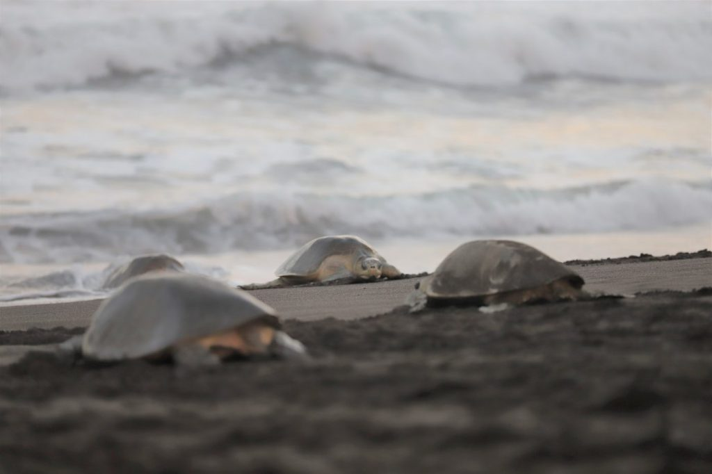 Olive ridley sea turtles enter and exit the ocean at Ostional Wildlife Refuge in Costa Rica