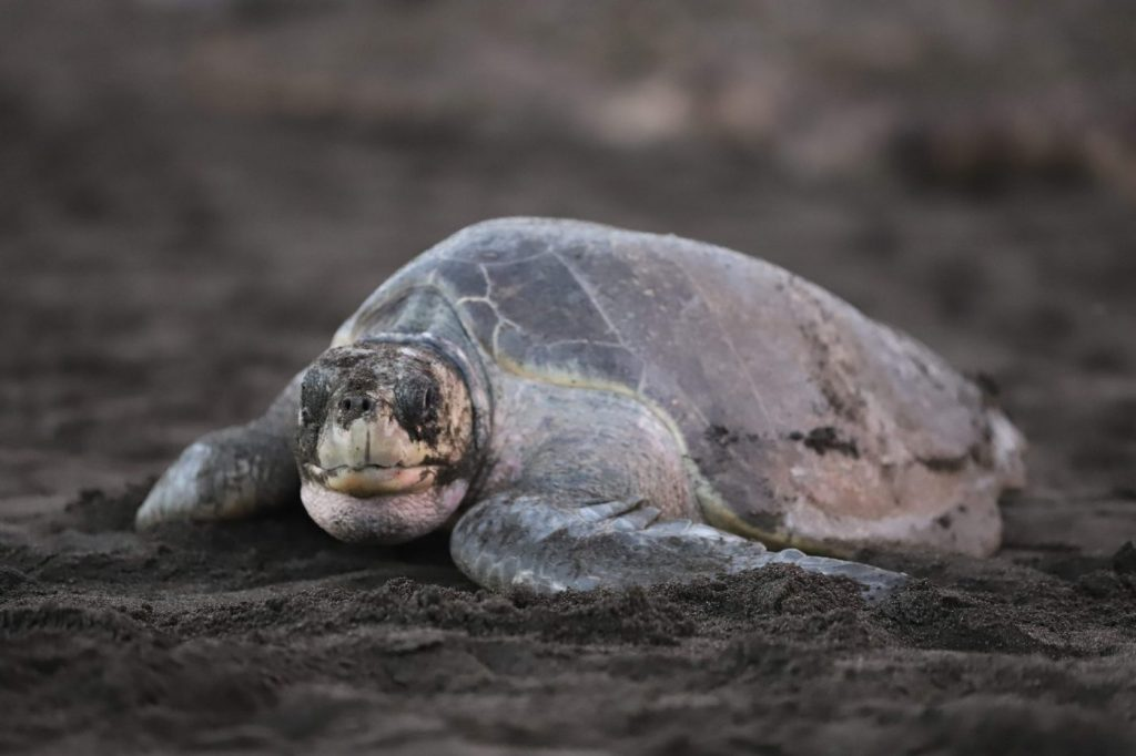 Olive Ridley sea turtle at Ostional Wildlife Refuge in Costa Rica