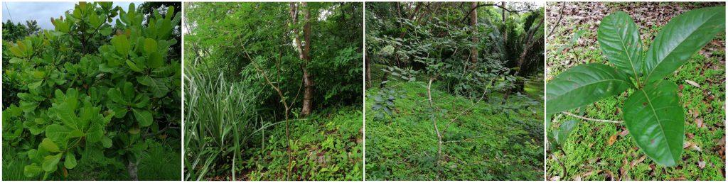 Photos of new trees planted in Samara Trails: Marañon, GuanacasteCocobolo, Nance