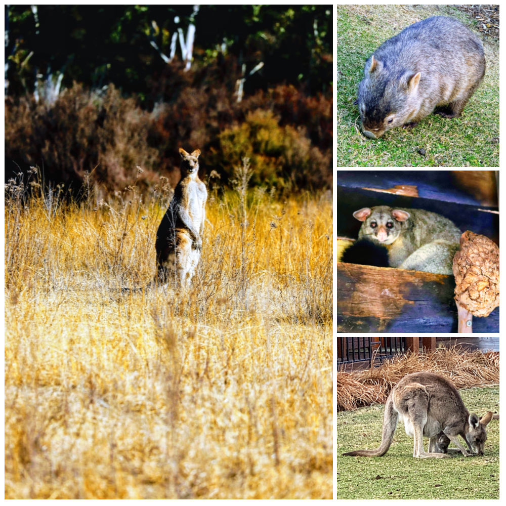 A collage of common animals spotted at Emirates One&Only Wolgan Valley: kangaroo, wombat, possum, and kangaroo with joey