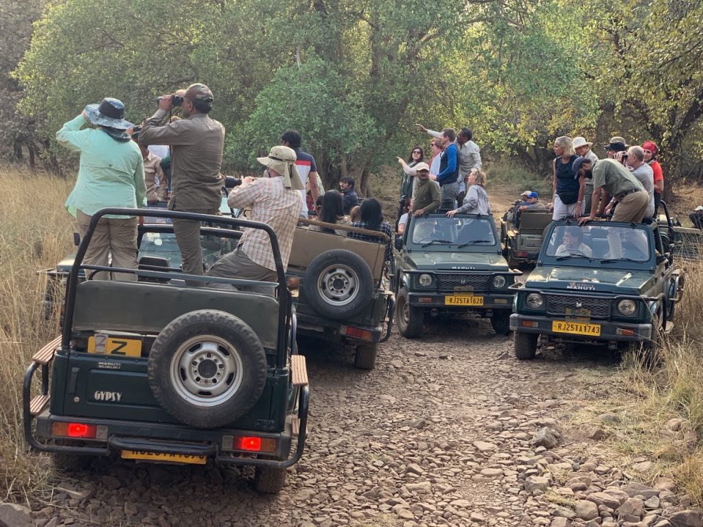 Jeeps crowded together while spotting a Bengal tiger in Ranthambore National Park, India
