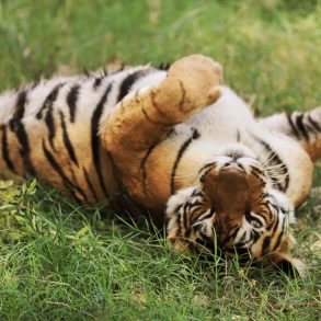 A Bengal tiger female rolling on her back the grass at Ranthambore National Park, India