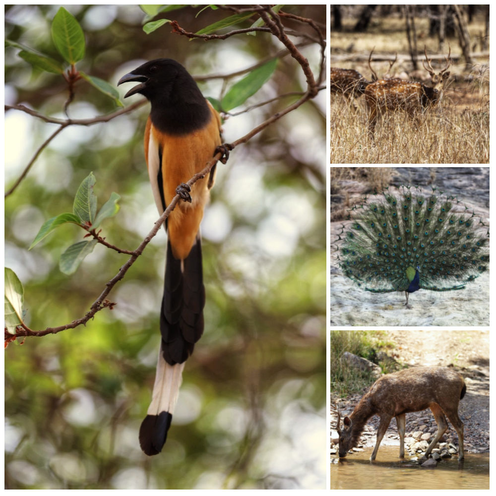 A collage of four animals from Ranthambore National Park in India: Spotted deer, Sambar deer, peacock, bird